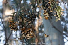 Pismo_Monarch_Butterfly_07790_2014-January-25_16264643.jpg