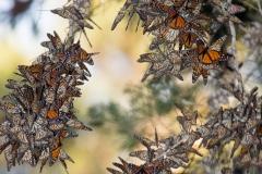 Monarch Butterflies in Pismo Beach, January 2015