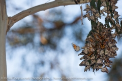 Monarch Butterflies in Pismo Beach, January 2015