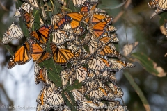 Pismo_Monarch_Butterfly_07850_2014-January-25_16443443.jpg