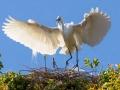 Egret protecting her nest